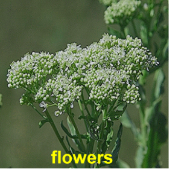 Hoary Cress-Flowers